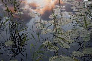 High angle view of lily pads in pond during sunsetの写真素材 [FYI04323340]