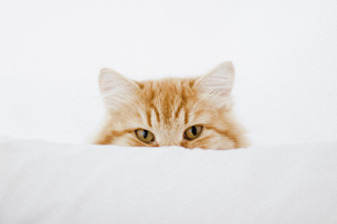 Portrait of ginger cat hiding behind cushionの写真素材 [FYI04323342]