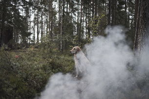 Dog sitting by smoke in forestの写真素材 [FYI04323347]