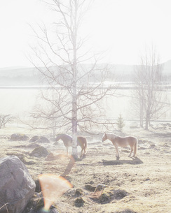 Horses standing by bare tree in fieldの写真素材 [FYI04323352]