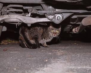 Image of cat under carの写真素材 [FYI04323353]