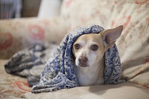 Chihuahua mix under blanket on sofaの写真素材 [FYI04323356]