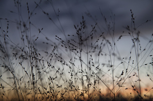 Silhouette of grass during sunsetの写真素材 [FYI04323357]
