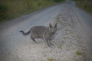 Full length view of gray cat on roadの写真素材 [FYI04323361]