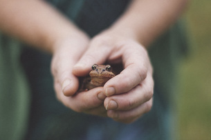 Close-up of hands holding frogの写真素材 [FYI04323369]
