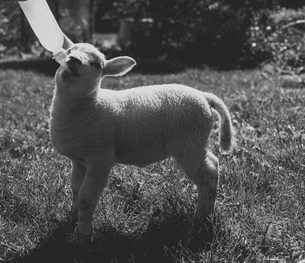 Lamb drinking milk from bottle on grassの写真素材 [FYI04323371]