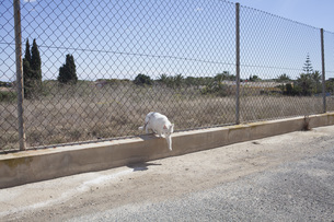 White cat passing through chainlink fenceの写真素材 [FYI04323373]