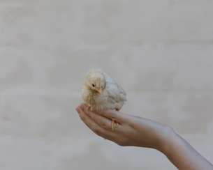 Close-up of woman's hand holding baby chickenの写真素材 [FYI04323376]