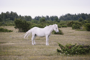 Side view of white horse standing on field against clear skyの写真素材 [FYI04323426]
