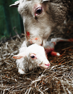Close-up of sheep with lamb on hay in penの写真素材 [FYI04323430]