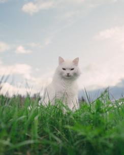 Portrait of white cat sitting on grassy field against skyの写真素材 [FYI04323433]
