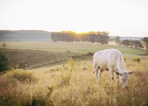 Cow grazing on field against clear sky, Brosarp, Skane, Swedenの写真素材 [FYI04323436]