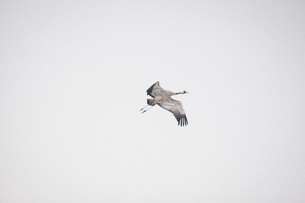 Low angle view of crane flying in clear skyの写真素材 [FYI04323441]