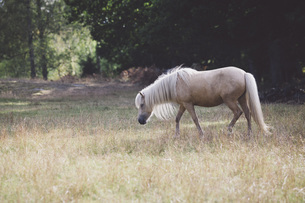 Side view of horse walking on grassy fieldの写真素材 [FYI04323442]