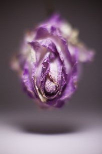 Close-up of wilted purple rose in mid-airの写真素材 [FYI04323505]