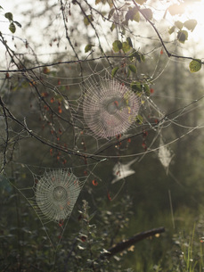 Spider webs on branches during sunny dayの写真素材 [FYI04323633]