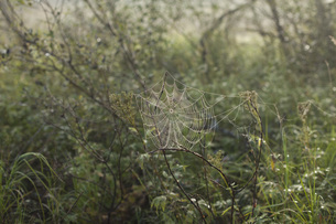 Close-up of spider web on plantsの写真素材 [FYI04323645]