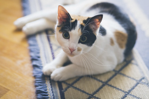 Portrait curious cat laying on rugの写真素材 [FYI04323756]
