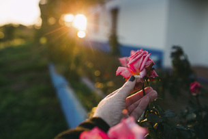 Personal perspective woman picking pink rose in gardenの写真素材 [FYI04323763]