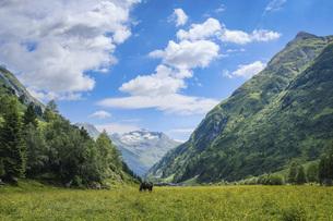 Horse grazing in idyllic, scenic mountain valley, Innergschloess, Tyrol, Austriaの写真素材 [FYI04323774]