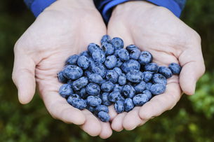 Hands cupping fresh, ripe blueberriesの写真素材 [FYI04323775]