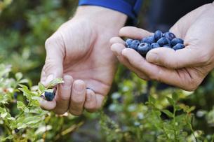 Hands picking fresh, ripe blueberriesの写真素材 [FYI04323776]