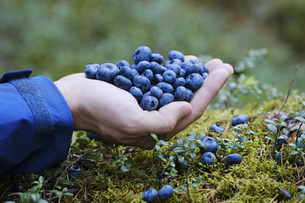 Hand cupping fresh, ripe blueberriesの写真素材 [FYI04323779]