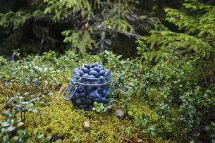 Fresh, ripe blueberries in jar in woodsの写真素材 [FYI04323780]