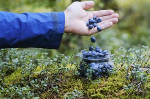 Hand holding fresh, ripe blueberriesの写真素材 [FYI04323782]