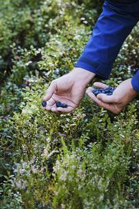 Man harvesting fresh, ripe blueberriesの写真素材 [FYI04323784]