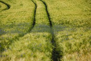 Wildflowers growing in idyllic green wheat fieldの写真素材 [FYI04323868]