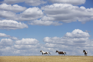 Brown and white horses in sunny rural field under blue sky with cloudsの写真素材 [FYI04323920]