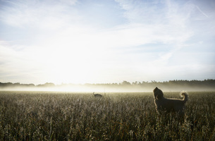 Spanish Water Dog howling in sunny rural field at dawnの写真素材 [FYI04323925]