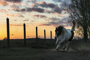 Horse running in rural pasture at sunsetの写真素材 [FYI04323930]