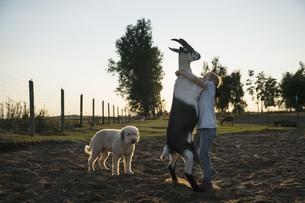 Girl dancing with goat in rural fieldの写真素材 [FYI04323932]