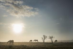 Silhouette horses grazing in idyllic rural field at sunriseの写真素材 [FYI04323933]