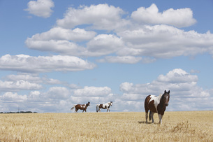 Brown and white horses in sunny rural, idyllic fieldの写真素材 [FYI04323935]