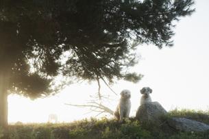 Spanish Water Dogs sitting under rural treeの写真素材 [FYI04323937]