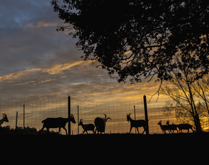 Silhouette goats on farm at sunsetの写真素材 [FYI04323938]