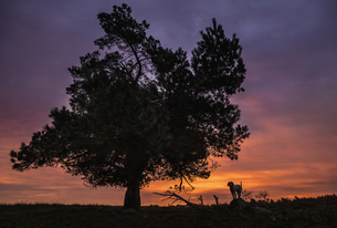 Silhouette dog standing under rural tree and dramatic sunset skyの写真素材 [FYI04323942]