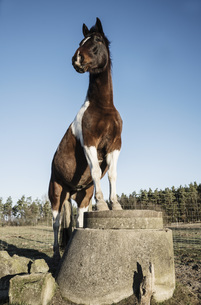Portrait brown and white horse standing on well covering on sunny farmの写真素材 [FYI04323946]