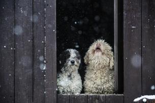 Spanish Water Dogs watching snow from barn doorwayの写真素材 [FYI04323950]