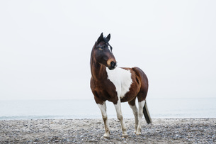 Brown and white horse standing on beachの写真素材 [FYI04323952]