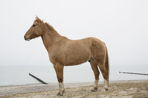 Brown horse standing on ocean beachの写真素材 [FYI04323953]