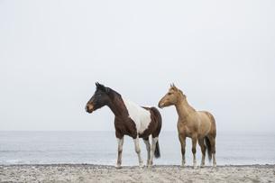 Horses on sandy ocean beachの写真素材 [FYI04323954]