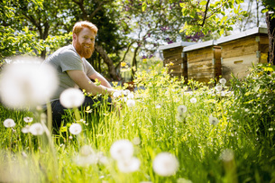 Portrait happy man with beard gardening in sunny gardenの写真素材 [FYI04323959]