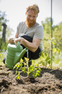 Man with beard watering sapling plant in sunny vegetable gardenの写真素材 [FYI04323961]