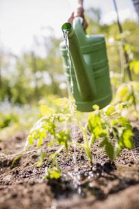 Man watering sapling plants in sunny vegetable gardenの写真素材 [FYI04323967]