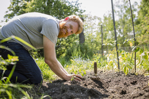 Portrait smiling, confident man with beard planting vegetables in sunny gardenの写真素材 [FYI04323970]