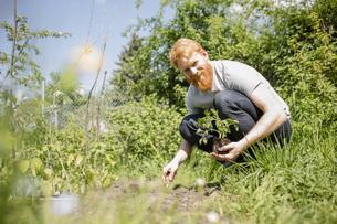Portrait smiling man with beard planting sapling in sunny vegetable gardenの写真素材 [FYI04323972]